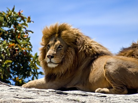 South-Africa-Lion-Glares-credit-William-Warby