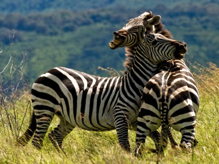South-Africa-Zebras-Duel-credit-William-Warby