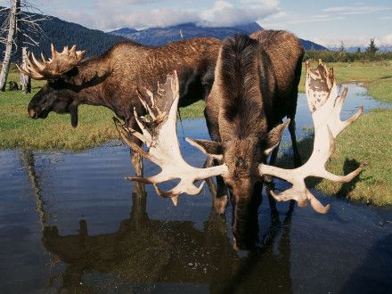 Anchorage-Moose-credit-Visit-Anchorage-440x330